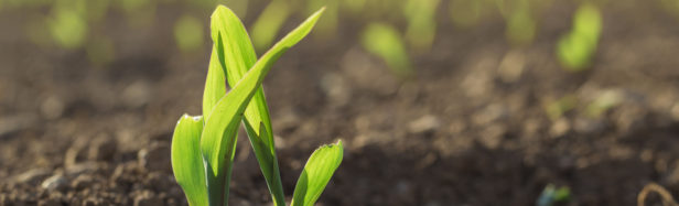 Closeup of a wheat seedling in field