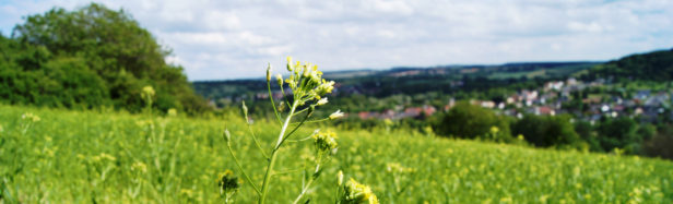 Field of Camelina Sativa