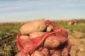 A sack of potatoes sat in a ploughed field