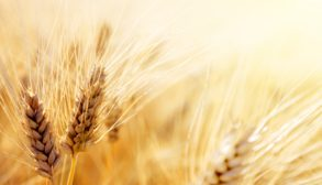 ripe wheat in a field