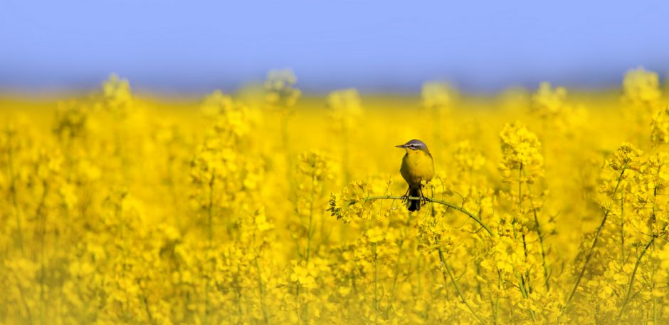 yellow wagtail in flowering oilseed rape field